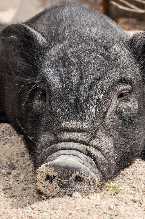 pig sow happy pig