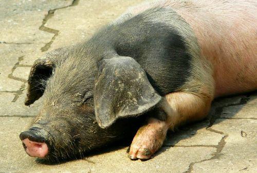 kiaulė,paršelis,laiminga kiaulė,sėti,gyvūnai,gyvūnas,ūkis,žinduolis,gyvuliai,jaunas gyvūnas,mielas,Žemdirbystė,naminė kiaulė,jauni gyvūnai,paarhufer,jaunas,purvinas,gyvūnų pasaulis,gyvūnų portretas,kiaulių veisimas,veisimas