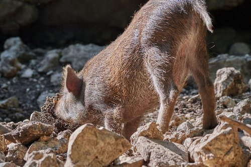 pig  dig  boar