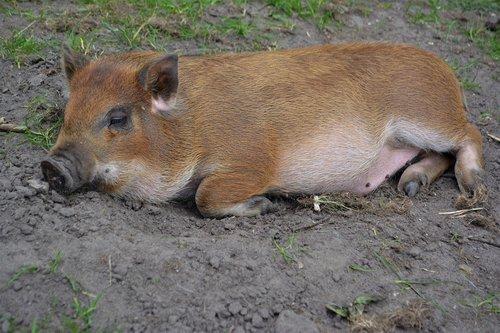 pig  mini pig  animal