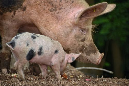 pig farm youngster