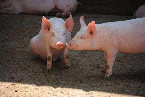 pig sow breeding