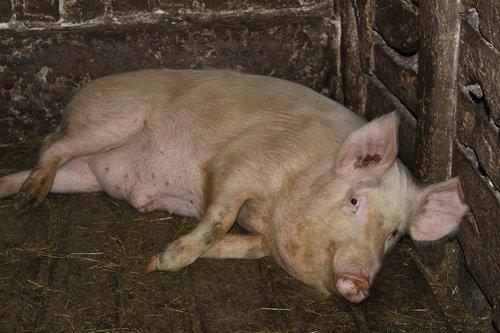 pig  farm  piglet
