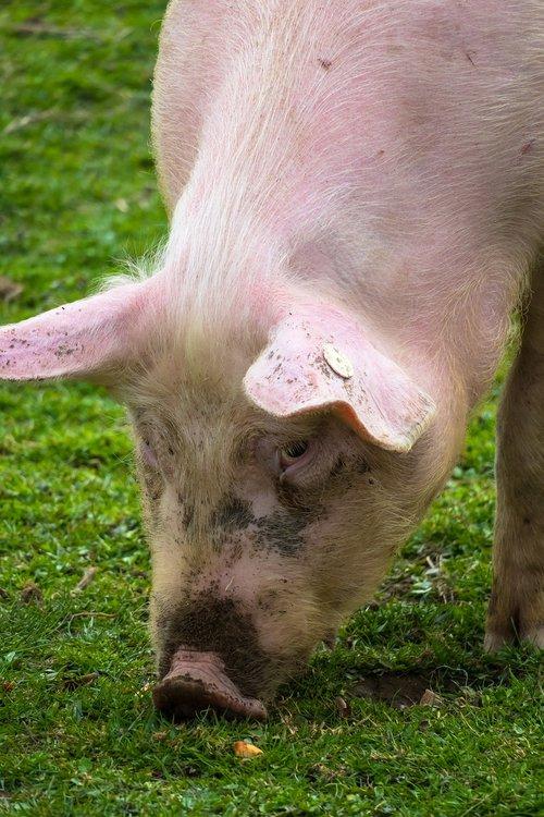 pig  eat  domestic pig