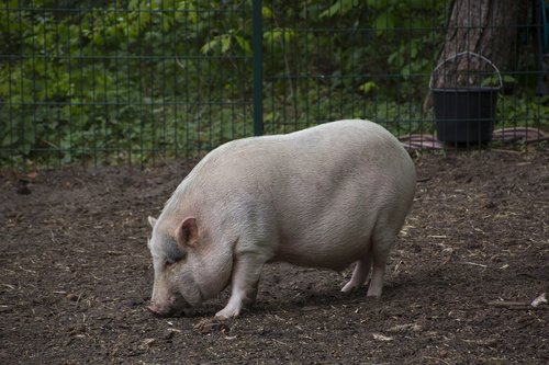 pig  animal  cute