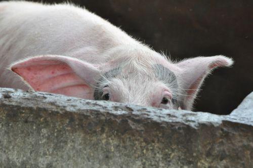 pig peeking farm