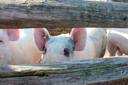 pig hog pork
