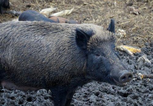 pig wild boar the bristles
