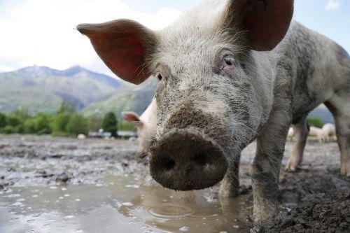 pig sow animal portrait
