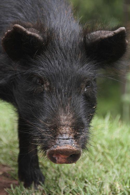 pig nose piglet