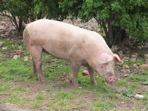 pig sow livestock