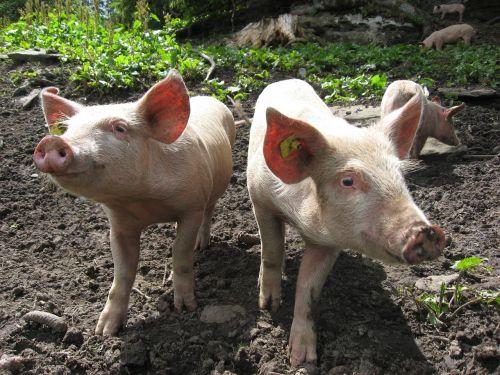 pig happy piglet