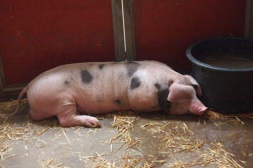 pig stable farm