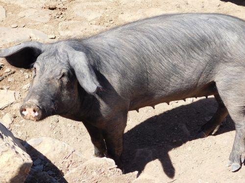 pig animal courtyard