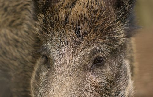 pig boar wild boar
