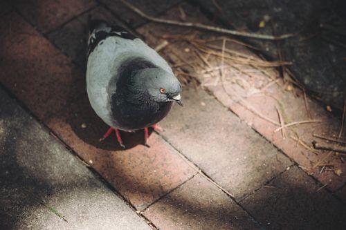 pigeon wood pigeon bird