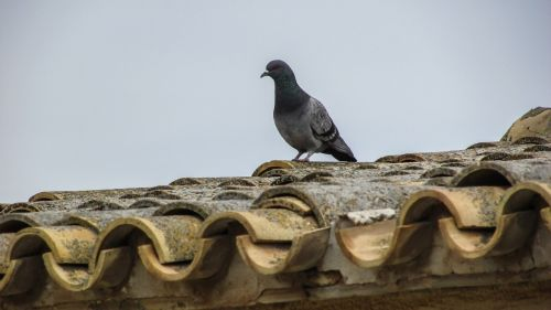 pigeon roof old house
