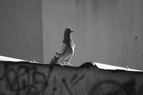 pigeon bird fauna