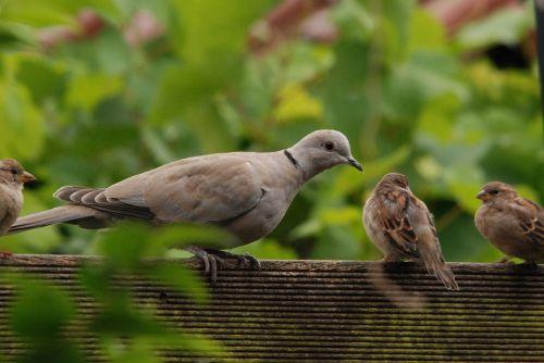 pigeon dove turtle dove