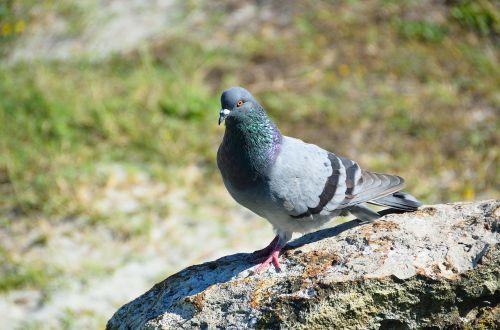 pigeon bird avian