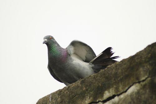 pigeon rock pigeon columba