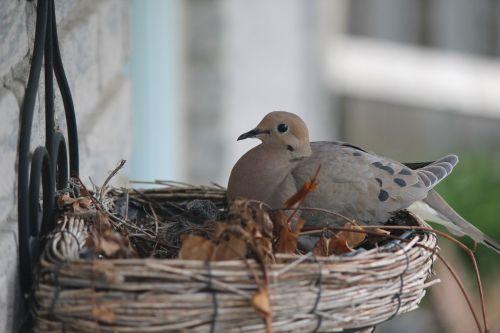 pigeon bird nest