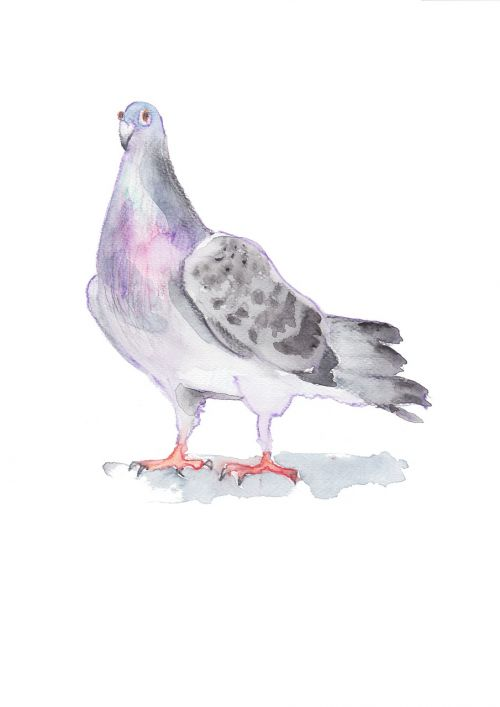 pigeon dove drawing