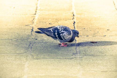 pigeon bird pigeons