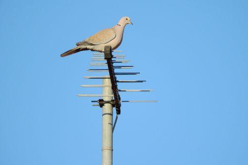 balandis,streptopelia decaocto,balandis,balandis ant antenos