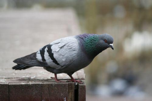 pigeon bird fly
