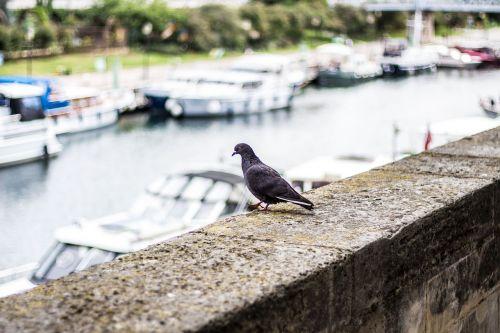 pigeon paris seine