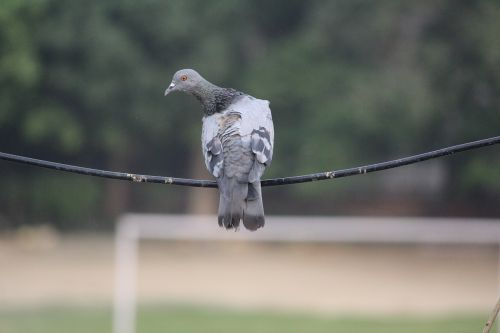 pigeon wire balancing