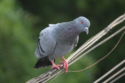 pigeon bird staring