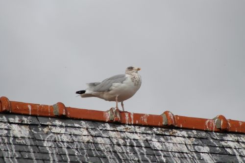 pigeon roof bird