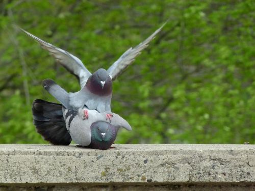 pigeon pigeons mating