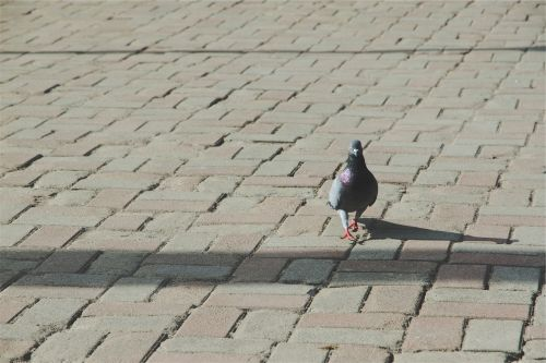 pigeon bird cobblestone
