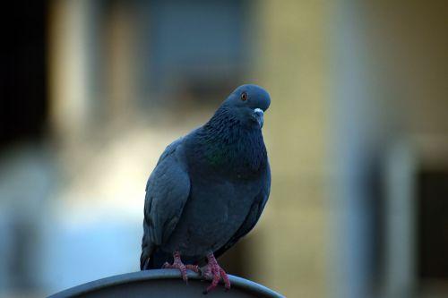 pigeon homing pigeon columba livia domestica