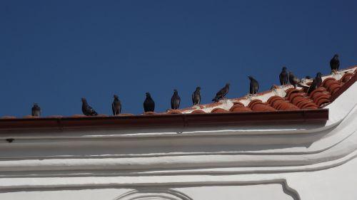 pigeon pigeons roof