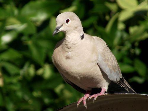 pigeon birds nature