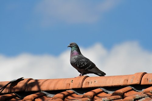 pigeon  bird  animal
