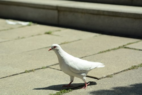 pigeon  peace  tranquility