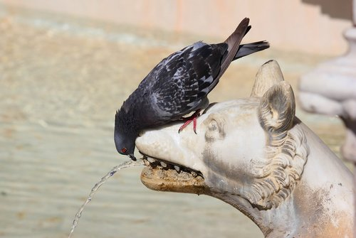 pigeon  thirst  water