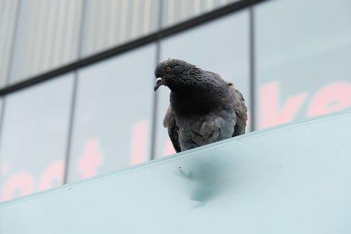 pigeon  bird  roof