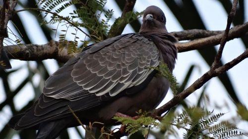 pigeon paige bird