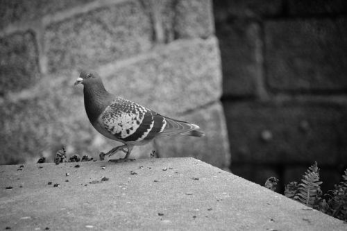 Pigeon Of The Cities
