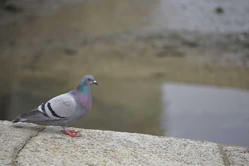 Pigeon In The City