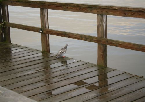 Pigeon On Boating Deck