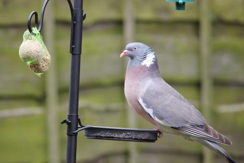 Pigeon Stealing From Bird Feeder