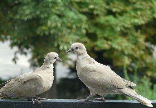 pigeons para meeting