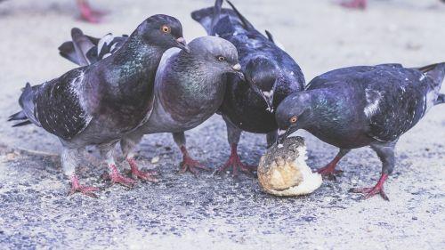 pigeons four birds